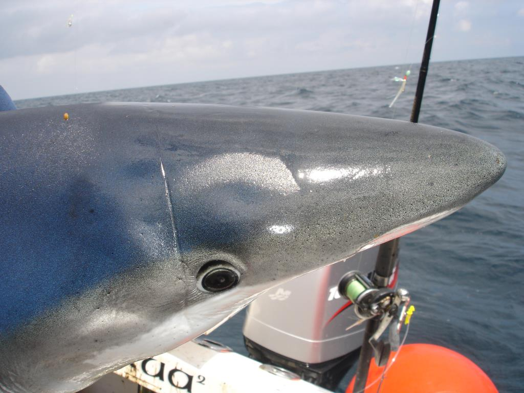 shark (18)_Medium