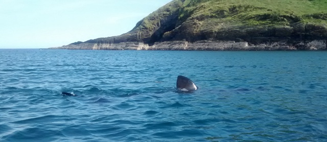 Getting this close to basking sharks is special